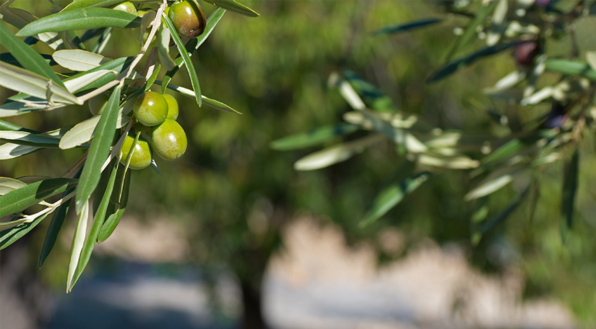 l 39 olivier le soigner de la mouche astuces jardins jardinier allauch v g tal fleurs et jardins. Black Bedroom Furniture Sets. Home Design Ideas